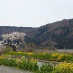 4月14日 山野草の天ぷら付き野草観察 桜満開の中を余呉湖を一周